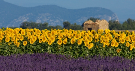 Image shows a typical colorful landscape in Provence, France. A sunflower field is combined with a lavender field in the foreground and a neglected barn in the background.   Stock Photo