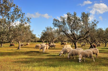 Rural picture of a flock of sheep in an olive tree field. Picture taken in Kalamata, Greece