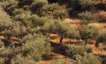 Olive tree fiel from the growing region of Kalamata, Greece