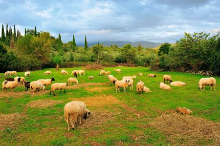 Flock of sheep in pasture during late afternoon Stock Photo