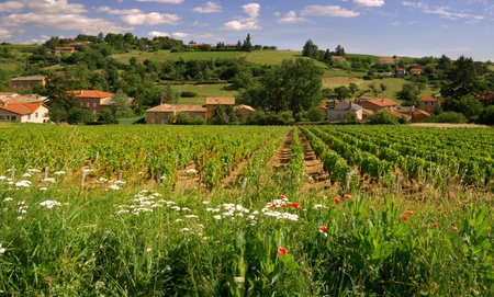 Picture of a Beaujolais vineyard in France  Stock Photo - 9139936