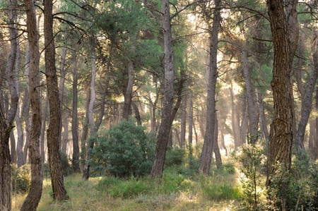 Pine forest in early morning sunlight Stock Photo - 9235291