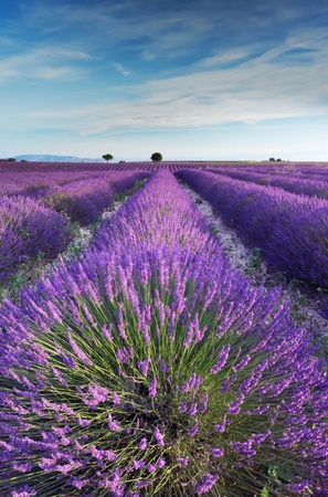 A rich lavender field in Provence, France in the early hours of the morning photo