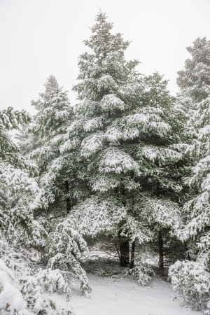 Pine forest under snow Stock Photo - 15477926