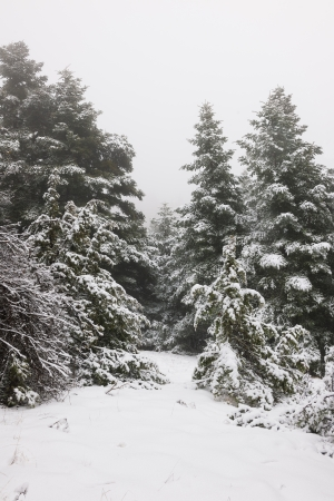 arcadia: Narrow path in a snow pine forest in Arcadia, Greece Stock Photo
