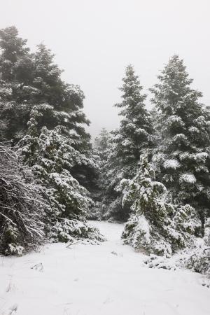 Narrow path in a snow pine forest in Arcadia, Greece Standard-Bild