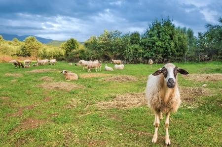 Sheep in pasture  One sheep looking at camera