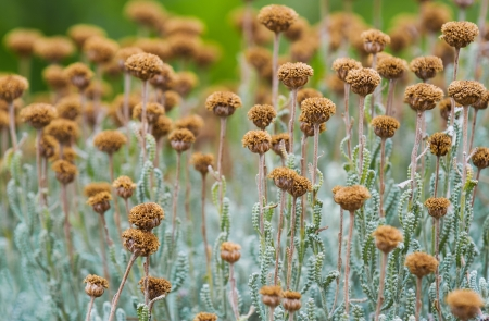 Field with wild dried santolina flowers (santolina chamaecyparissus), shot from a low position. Also called lavender cotton.  Stock Photo
