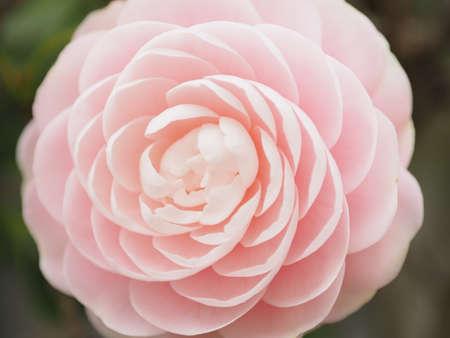 Clean round Camellia flower Фото со стока