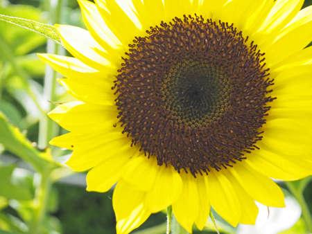 Sunflower blooming beautifully