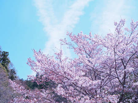 Cherry blossoms and blue skies beautifully blooming 写真素材 - 105509113
