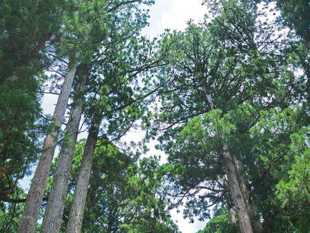 Quiet cypress forest