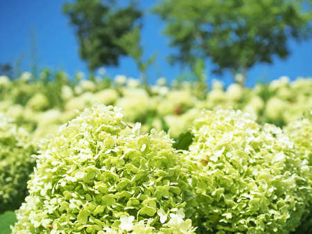 Hydrangea which is blooming beautifully 写真素材