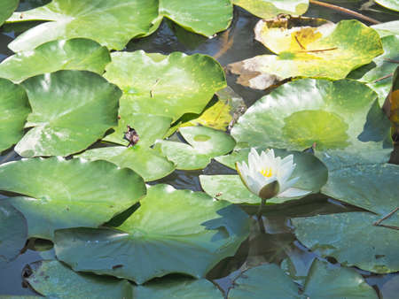 Water lilies blooming beautifully
