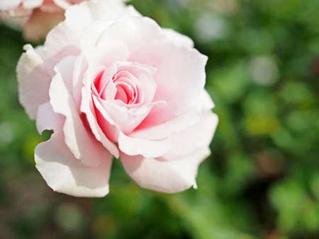 Roses blooming beautifully