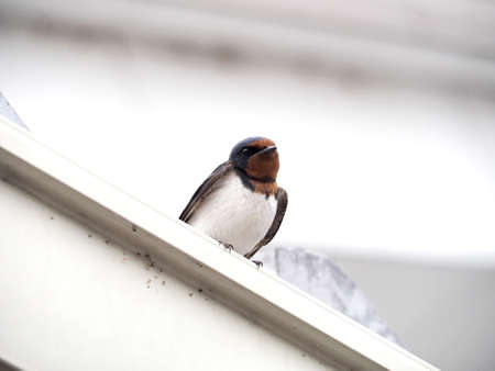 Swallow fits on the roof
