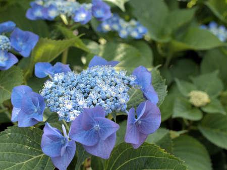 Blue hydrangea blooming beautifully Stock Photo