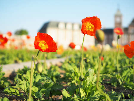 Poppies beautifully blooming