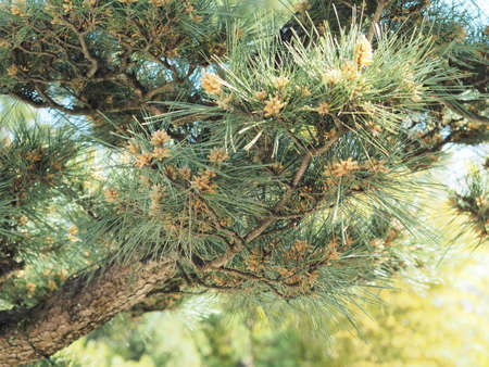 Pine tree with pollen