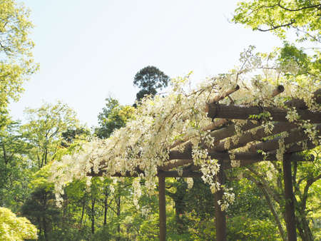 Wisteria which is blooming beautifully