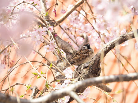 Cherry blossoms and sparrows that are beautifully blooming