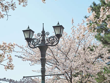 Cherry blossoms and street lights blooming beautifully