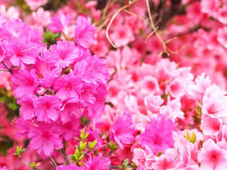 Azalea which is beautifully blooming Фото со стока