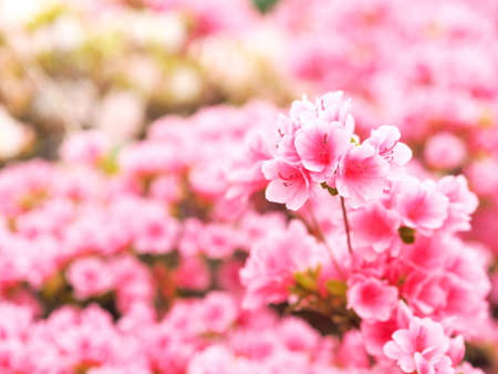 Azalea which is beautifully blooming 写真素材