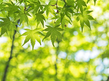 A beautiful green maple