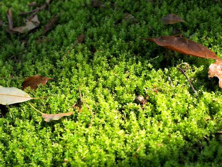 Beautiful moss ground closeup photo 写真素材