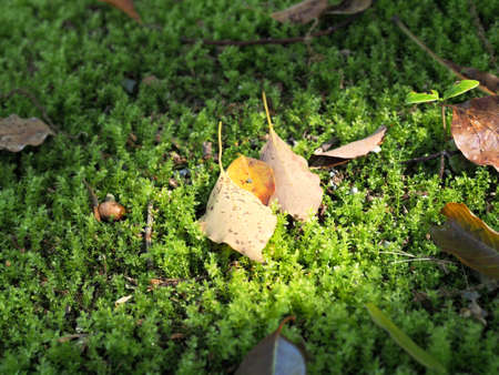 Leaves falling on the ground of moss