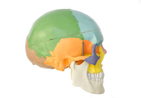 temporal: Human skull model Stock Photo