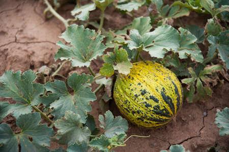 melon field: Melon in the Field