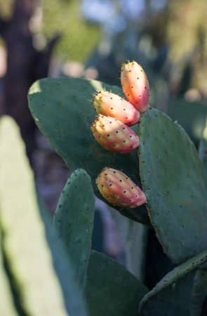 prickly: Prickly pear