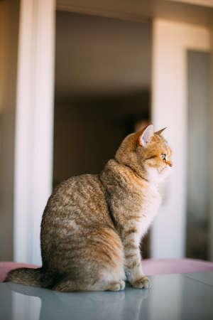 Golden Shaded British Shorthair Cat
