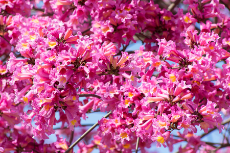 Close up of frilly pink tabebuia tree in full bloom bell shaped close up of frilly pink tabebuia tree in full bloom bell shaped trumpet flowers mightylinksfo