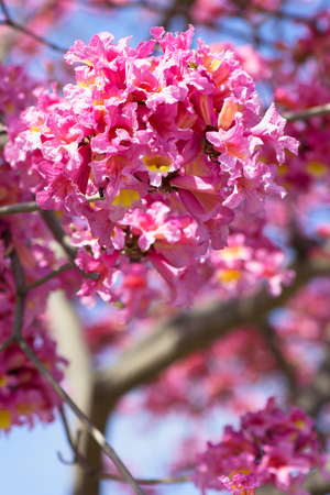 Pink tabebuia tree close up of frilly bell shaped trumpet flowers pink tabebuia tree close up of frilly bell shaped trumpet flowers tabebuia rosea bignoniaceae mightylinksfo