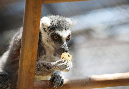 Close up portrait of lemur sitting on a ladder with a leaf-eater biscuit in his mouth. Фото со стока