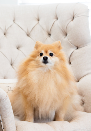 Serious golden Pomeranian male puppy dog sitting on a beige linen covered wing back chair with button tufting. Stock Photo