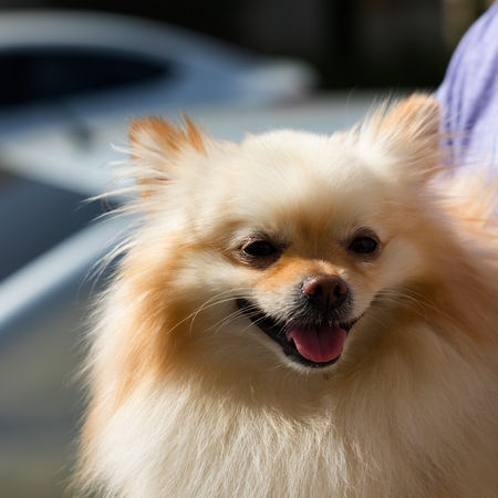 Small two tone golden male Pomeranian puppy dog with cute fluffy mane outdoors in the sun