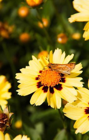 Fiery Skipper Hylephila Phyleus butterfly perched on yellow flowers. Yellow African Daisy. Insects and butterflies Stock Photo