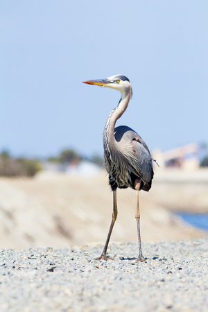 Large gray and white bird on top of hill. Great Blue Heron Stock Photo