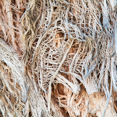 Dirty, dingy, stringy, peeling, gnarled aging tree bark closeup.  Rough texture background Imagens