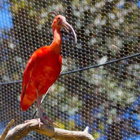 Close up scarlet ibis perched in a tree (Eudocimus ruber) Banco de Imagens