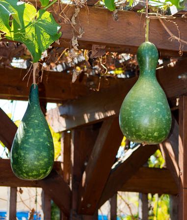 Bottle gourds growing on a trellis.  Dark mottled green fruit, outdoor gardening.