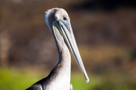 Close up of brown pelican resting on a fence at wildlife habitat. Huge, stocky seabirds/ Banco de Imagens