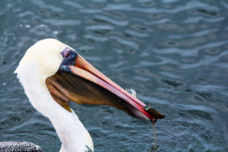 Close up of adult pelican swimming; brown pelican swallowing several small fish. Huge, stocky seabirds.  Thin necks, long bills, stretchy pouch used for capturing fish.  Long and broad wing Banco de Imagens