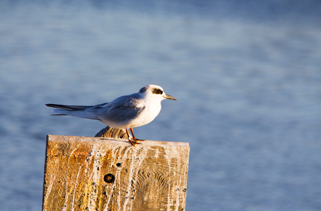 Perched Forsters Tern, adult bird with black eye mask.  Winter at Pacific Coast beach. Sterna forsteri Stockfoto