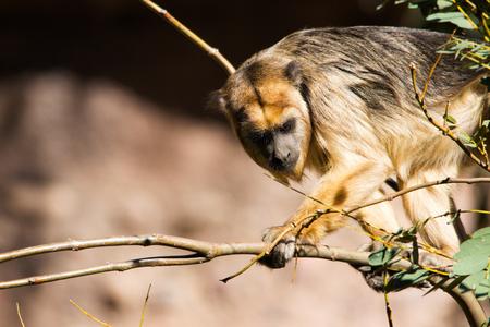Golden howler monkey on a tree branch closeup