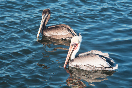 Close up of a pair of adult pelican swimming